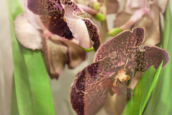 Brown Vanda air orchid plants at New Covent Garden Flower Market