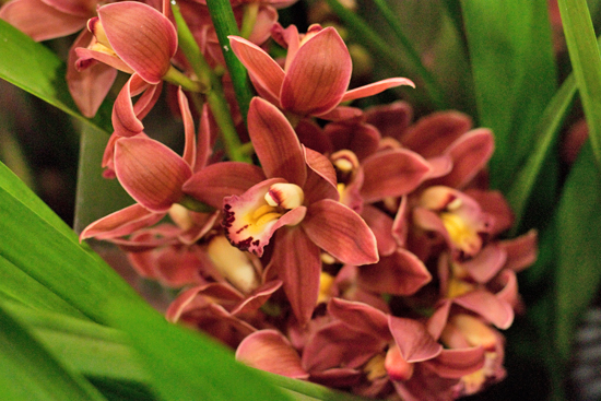Brown/ Oranger/ red Cymbidium orchid plants at New Covent Garden Flower Market