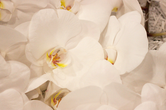 White sensation Phalaenopsis Orchids  at New Covent Garden Flower Market