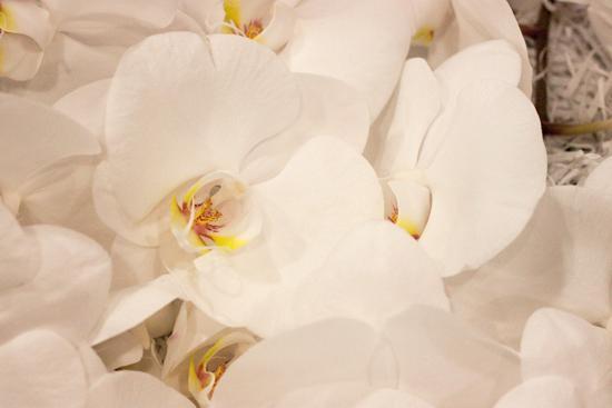 White sensation Phalaenopsis Orchids  at New Covent Garden Flower Market