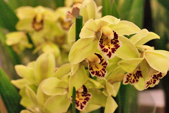 Yellow Cymbidium orchid plants at New Covent Garden Flower Market
