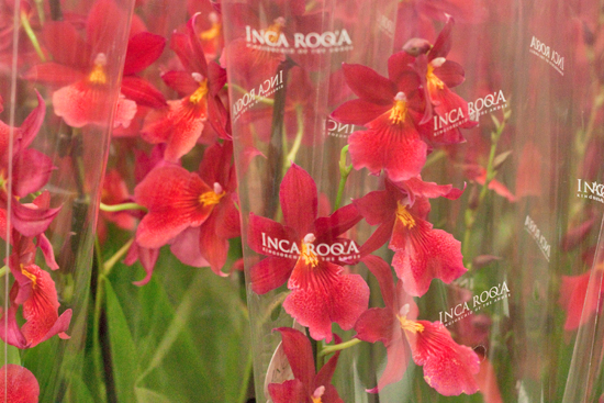 Red Cambria Nelly Isler orchid plants at New Covent Garden Flower Market