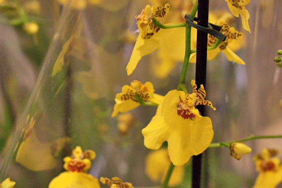 Yellow Oncidium (dancing ladies) orchid plants at New Covent Garden Flower Market