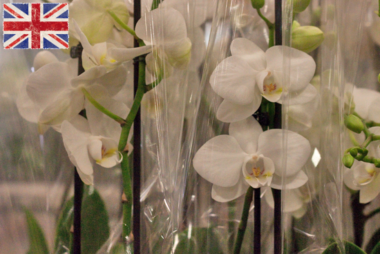 White British phalaenopsis orchid plants at New Covent Garden Flower Market