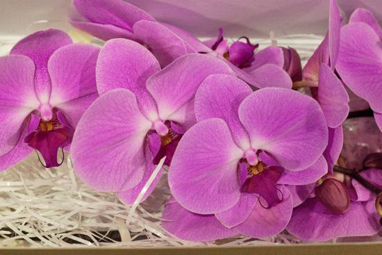 Surabbya (sometimes spelt Surabaya) Phalaenopsis Orchids  at New Covent Garden Flower Market