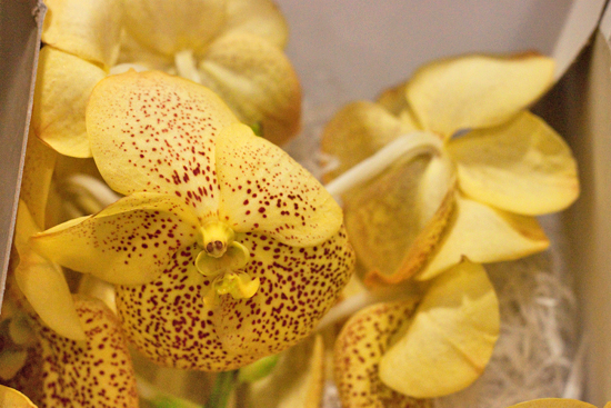 Yellow Vanda Orchids at New Covent Garden Flower Market