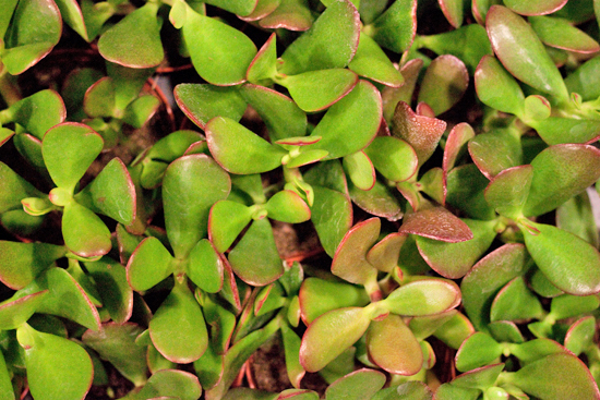 Crassula Ovata Succulents at New Covent Garden Flower Market