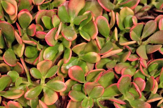 Crassula Ovata Succulents at New Covent Garden Flower Market