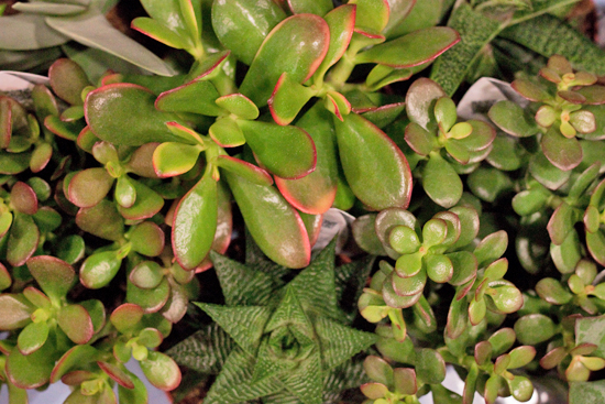 Assorted Tray of Crassula Ovata Succulents at New Covent Garden Flower Market
