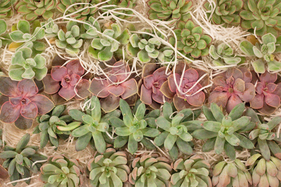 Echeveria Succulents at New Covent Garden Flower Market