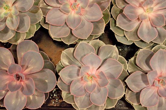 Echeveria Succulents at New Covent Garden Flower Market