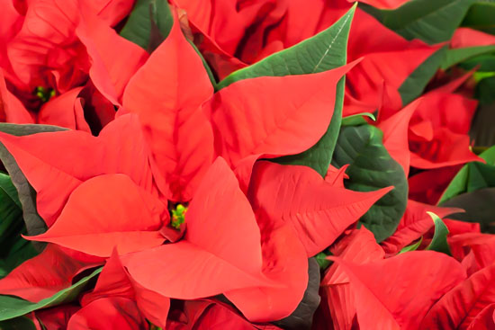 Poinsettias at New Covent Garden Flower Market - Christmas Special - December 2014