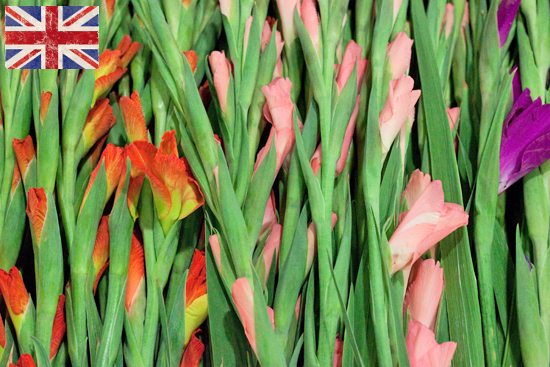 Standard British gladioli at New Covent Garden Flower Market