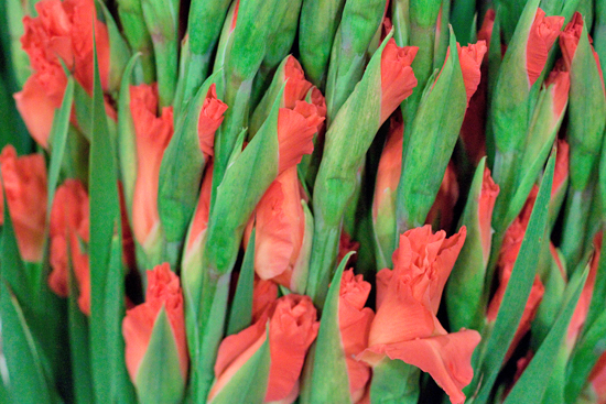 Orange ovatie gladioli at New Covent Garden Flower Market