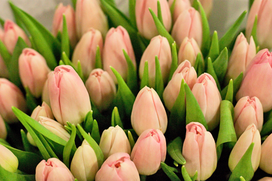 Pale pink Dynasty Tulips at New Covent Garden Flower Market