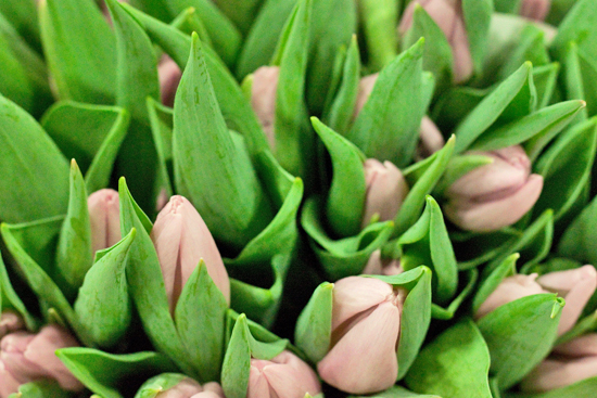 New Covent Garden Flower Market - Tulips - Candy Prince
