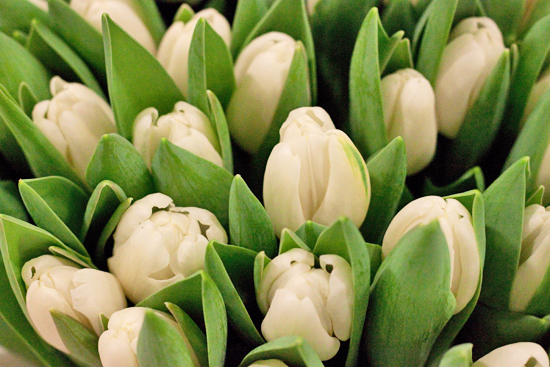 White Antarctica Tulips at New Covent Garden Flower Market