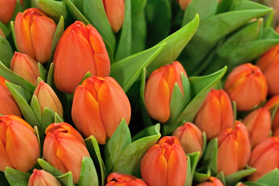 Orange Ad Rem Tulips at New Covent Garden Flower Market