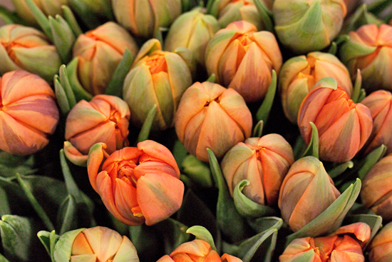 Orange Princess Tulips at New Covent Garden Flower Market