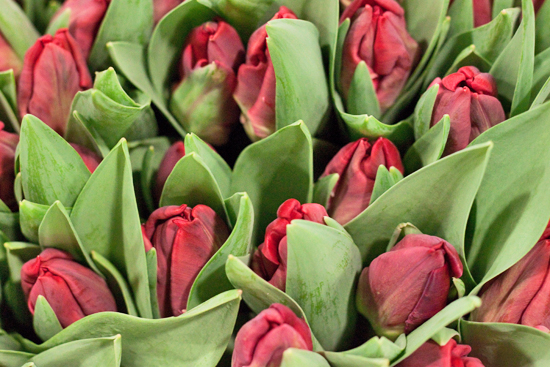 Red Top ParrotTulips at New Covent Garden Flower Market