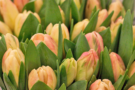 Yellow/ Orange Libretto Tulips at New Covent Garden Flower Market