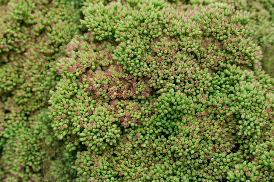 Green Sedum spectabile at New Covent Garden Flower Market - September 2015