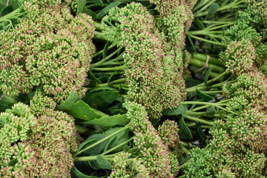 Bunches of British sedum at New Covent Garden Flower Market - September 2015