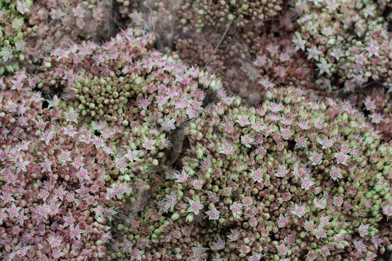 Pink and grey Sedum 'Matrona' at New Covent Garden Flower Market - September 2015
