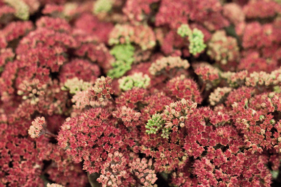 Red Sedum 'Magical Lizzy' at New Covent Garden Flower Market - September 2015