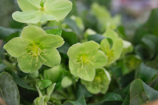 Helleborus argutifolius at New Covent Garden Flower Market February 2017