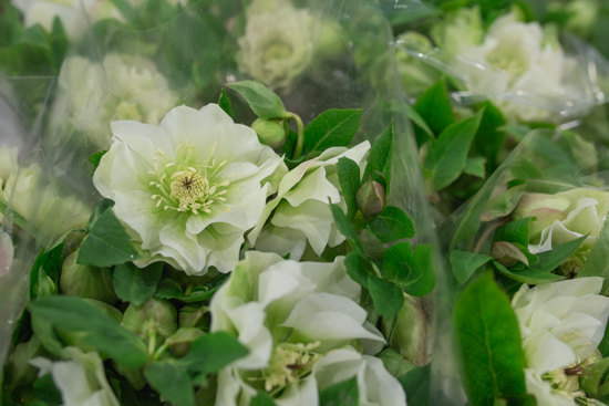 Helleborus orientalis Double Ellen White at New Covent Garden Flower Market February 2017