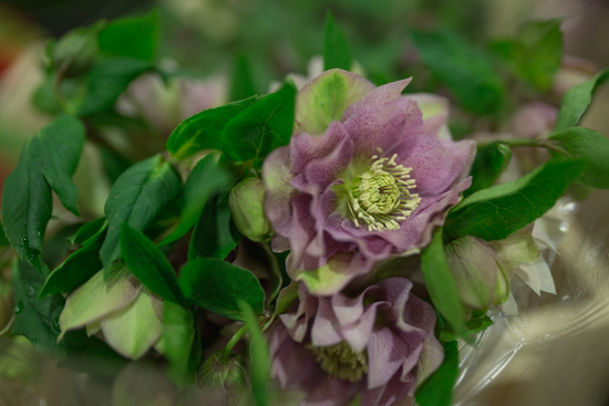 Helleborus orientalis Double Ellen Pink at New Covent Garden Flower Market February 2017