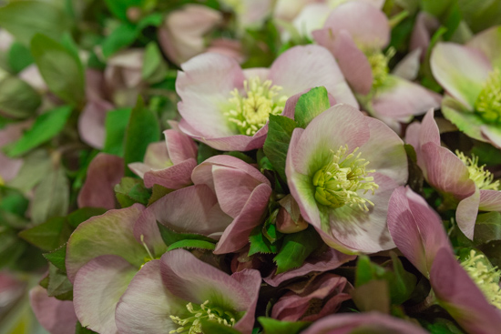 Helleborus orientalis Queens Light Pink at New Covent Garden Flower Market February 2017