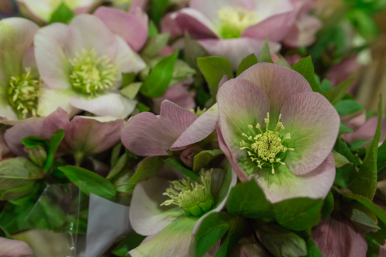 Product Profile: Hellebores