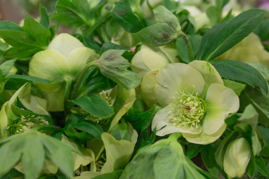 Helleborus orientalis Queens Yellow at New Covent Garden Flower Market February 2017