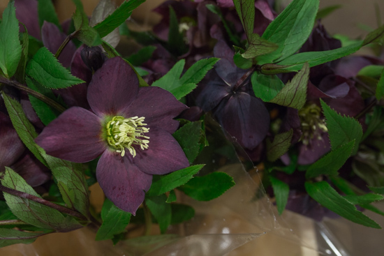 Helleborus orientalis Queens Red at New Covent Garden Flower Market February 2017