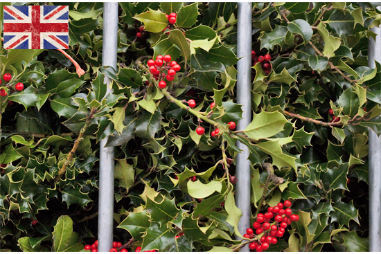 British holly, berried at New Covent Garden Flower Market