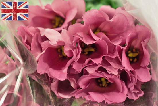 British pink Lisianthus at New Covent Garden Flower Market