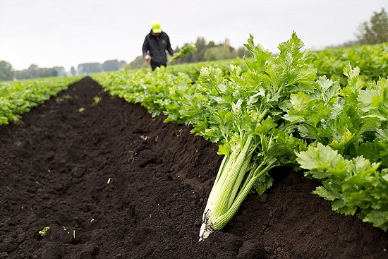 Trimmed Fenland celery in field