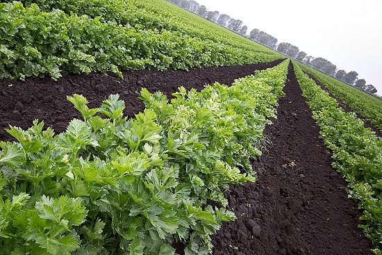 Rows of Fenland celery