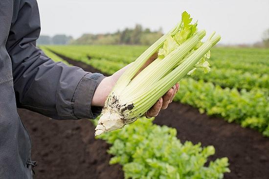 Trimmed Fenland celery root