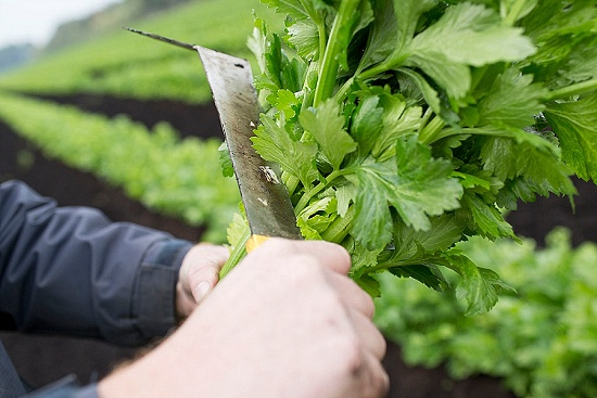 Trimming Fenland celery leaf