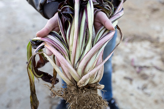 Radicchio from the field