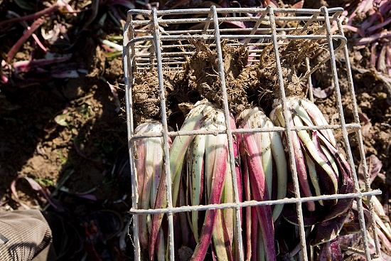 Packed metal crates of radicchio