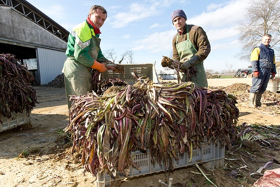Packing crates of radicchio