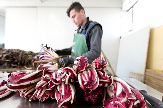Radicchio production line