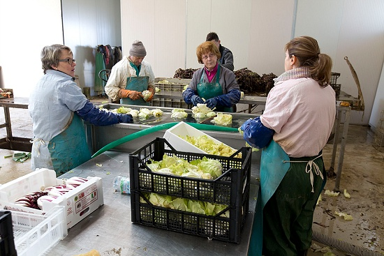 Warehouse team washing radicchio