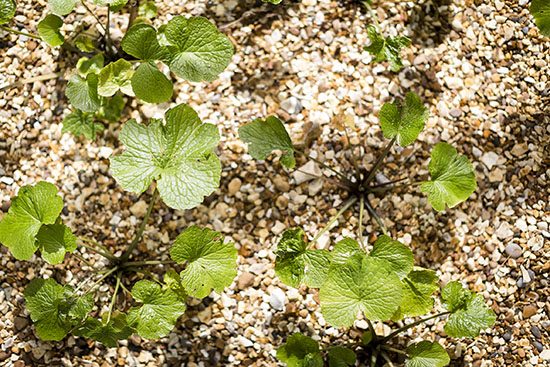 Wasabi plants in gravel