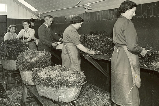 Vintage photo of watercress packing