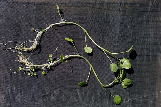 Watercress plant